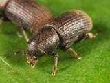 Hylurgops pinifex