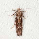 1986 - Goldenrod Elliptical-Gall Moth - Gnorimoschema gallaesolidaginis