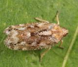 Epiptera slossonae