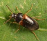 Hallomenus scapularis
