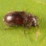 Tricorynus sp.