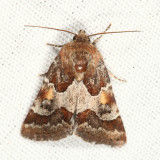 11104 - Spinose Flower Moth - Schinia spinosae