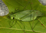 Broad-winged Bush Katydid - Scudderia pistillata