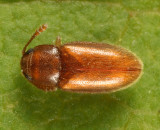 Cryptophilus sp.