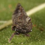Microcentrus perditus (male)