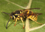 Downy Yellowjacket - Vespula flavopilosa