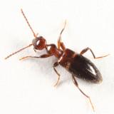Malporus formicarius