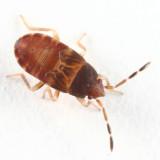 Rhyparochromidae (nymph)