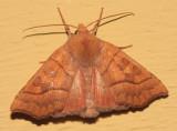 9952 - Scalloped Sallow - Eucirroedia pampina