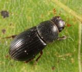 Dialytes truncatus