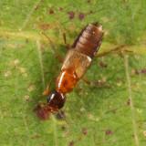 Erichsonius patella