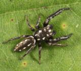 Marpissa formosa (male)