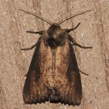 9452 - Iris Borer - Macronoctua onusta