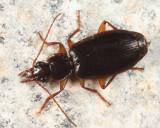 Cymindis platicollis
