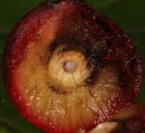 Amphibolips quercusjuglans