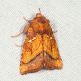 9479 - Loosestrife Borer - Papaipema lysimachiae