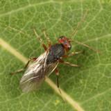 Callirhytis sp.