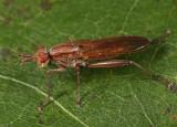 Sepedon fuscipennis