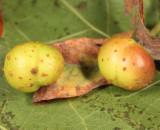 Pontania sp. (galls)