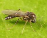 Phaenobezzia opaca