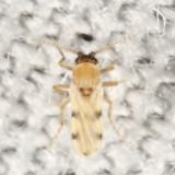 Forcipomyia pluvialis
