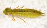 Anax junius (larva)