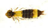 Anax Junius (young larva)