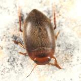 Neoporus undulatus