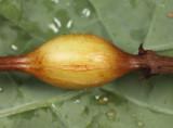 Neolasioptera boehmeriae (gall)