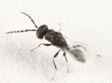 Eurytomidae