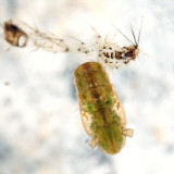 Anopheles punctipennis (pupa)