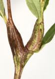 Neolasioptera (galls)