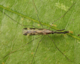 Anopheles punctipennis (male)