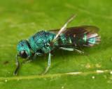 Caenochrysis doriae