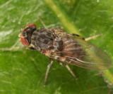 Phortica variegata