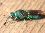 Chrysis ignita species-group