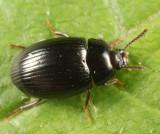Platydema excavatum (female)