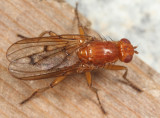 flies - Dryomyzidae