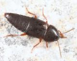 Tachinus memnonius