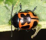 Swamp Molkweed Leaf Beetle - Labidomera clivicollis