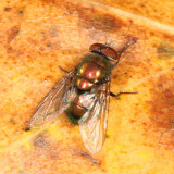 Blow Fly - Lucilia sp.