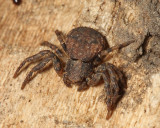 Bark Crab Spider - Bassaniana sp.