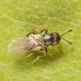 Encyrtidae