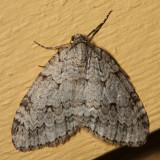7433 - Autumnal Moth - Epirrita autumnata