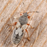 Blissus sp.