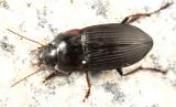Anisodactylus rusticus