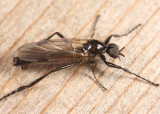 Bibio longipes (male)