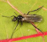 Bibio slossonae (male)