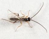 Stenomacrus sp.