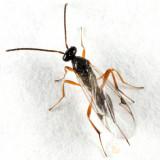 Mischoserphus sp.